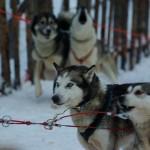 psie zaprzęgi, koło podbiegunowe / finlandia